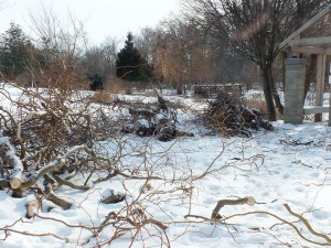 More than 100 trees at the Humber North campus Arboretum suffered damage from last month's major ice storm. Photo by Derick Deonarain